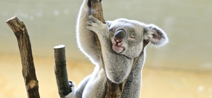 Koala sits on a branch and sleeps